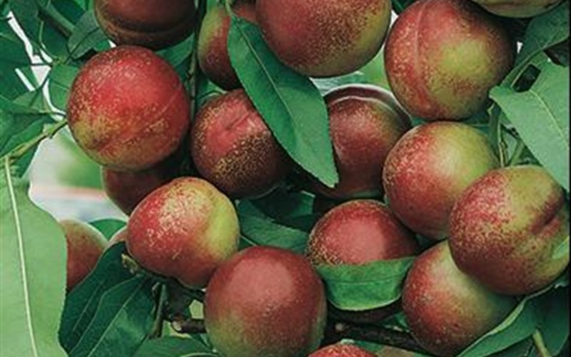 what type of fruit is a nectarine