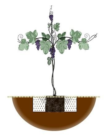 How To Plant A Grape Vine