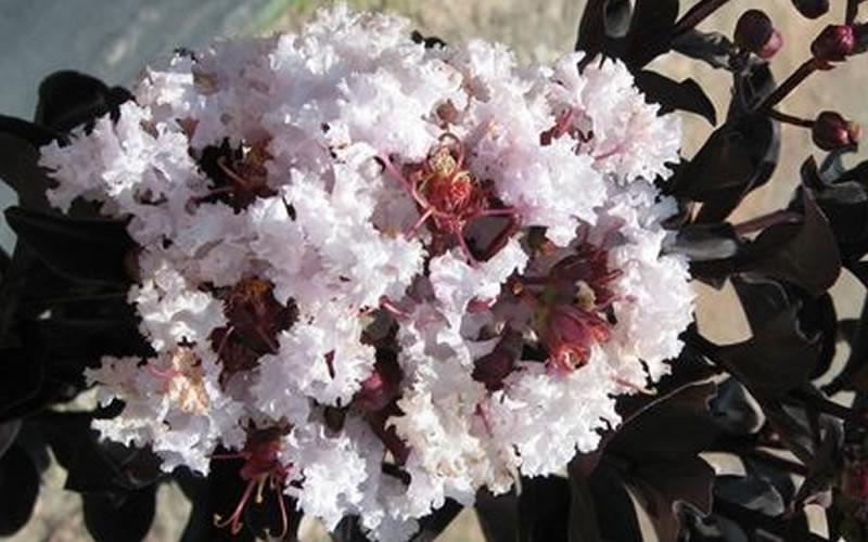 Black Diamond Crepe Myrtle Bush
