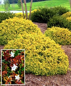 The Best Abelia Shrubs For The Landscape