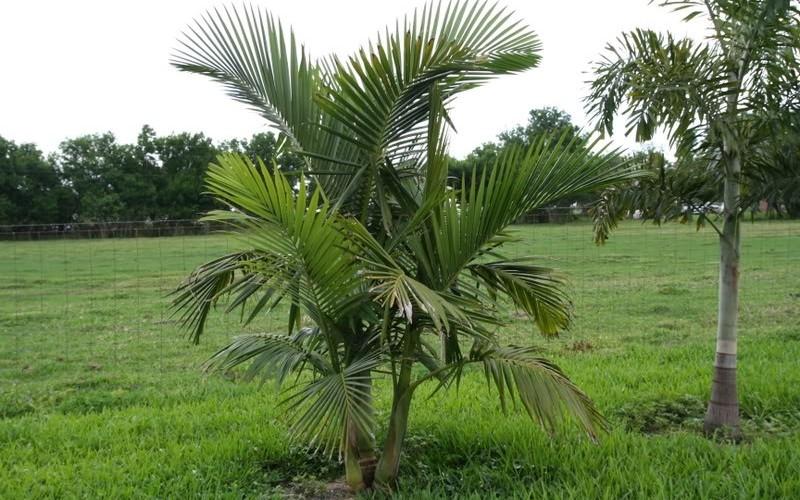 Alexandra Palm - Gardenality