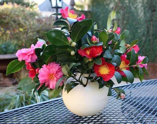 Cutting Camellia Flowers For Floral Arrangements