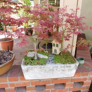How to Air Layer A Japanese Maple