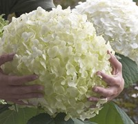 Incrediball Hydrangea - Perennial Plants