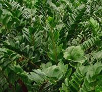 Zz Plant Tropical Plants