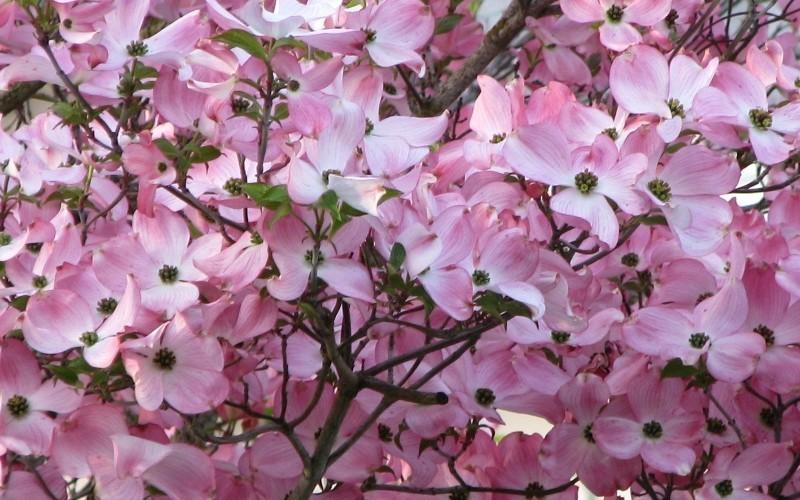 Stellar Pink Dogwood - Gardenality - photo#40