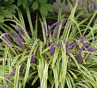 Variegated Liriope Groundcover Plants
