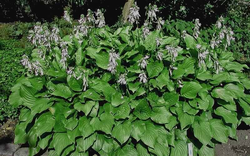 Royal Standard Hosta Lily Picture Gardenality