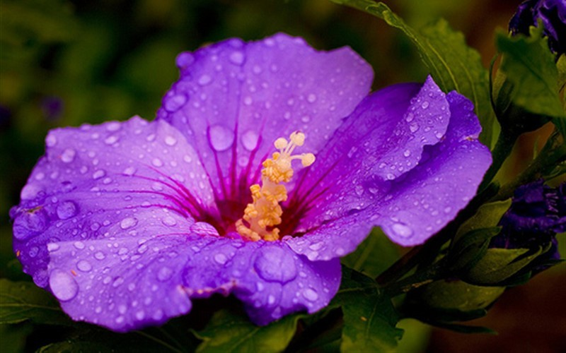 Purple Hibiscus Essays | GradeSaver