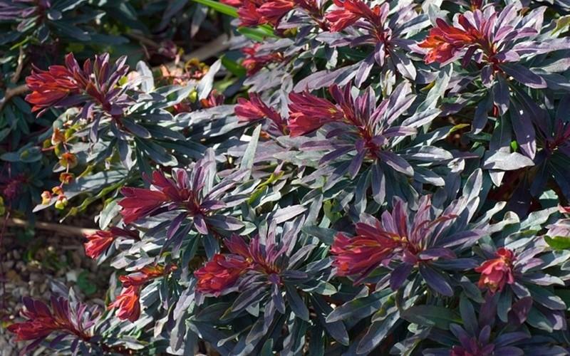 Gallery Euphorbia Ruby Glow