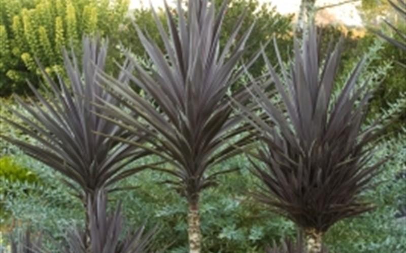 bauers dracaena palm picture gardenality. Black Bedroom Furniture Sets. Home Design Ideas