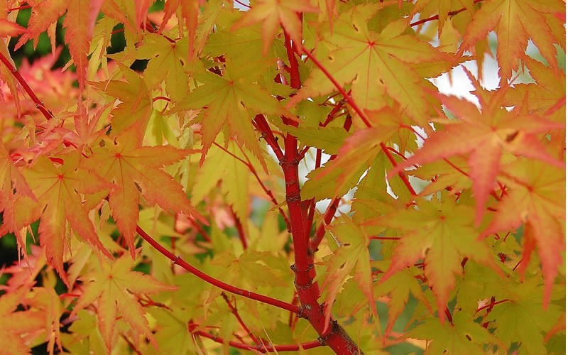 Coral Bark Japanese Maple Picture Gardenality