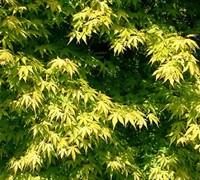 Katsura Hime Japanese Maple Trees