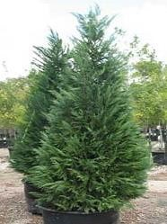Living Christmas Tree.How To Care For A Living Christmas Tree