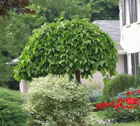 Weeping Mulberry Problems Garden Inspiration